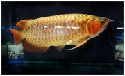 Super red arowana fishes and tanks for sale