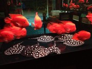 Super Red/Asian Red/Chili Red / 24 K Golden Arowana Fish For Sale.