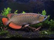 Healthy super red arowana fishes for sale at affordable prices